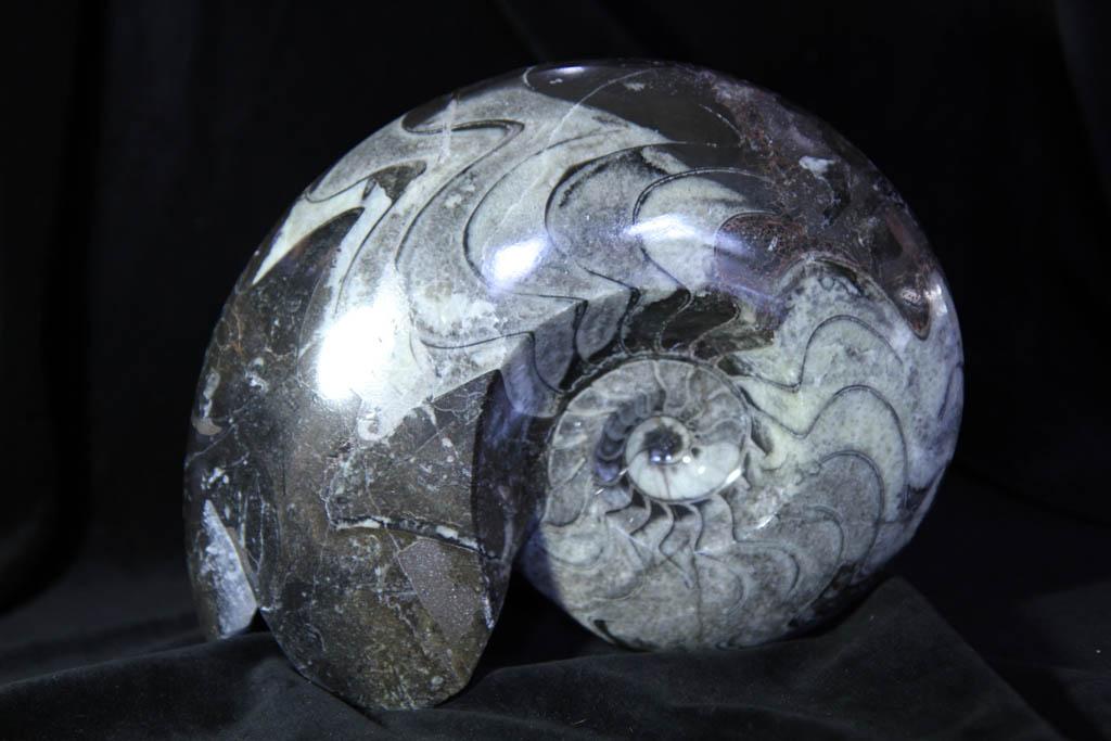 Goniatite -0