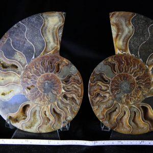 Cleoniceras Ammonite Halves -0