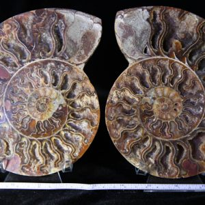 Cleoniceras Ammonite Halves -0