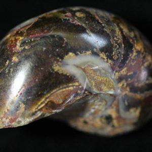 Nautilus - Cymatoceras-0