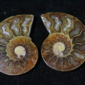 Cleoniceras Ammonite Halves - Super Mini-0