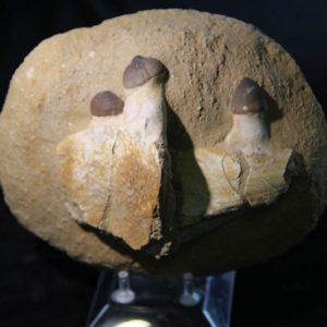 Globidens aegypticus - Mosasaur Jaw section-0