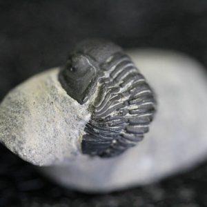 Trilobite - Gerastos Granulosus-0
