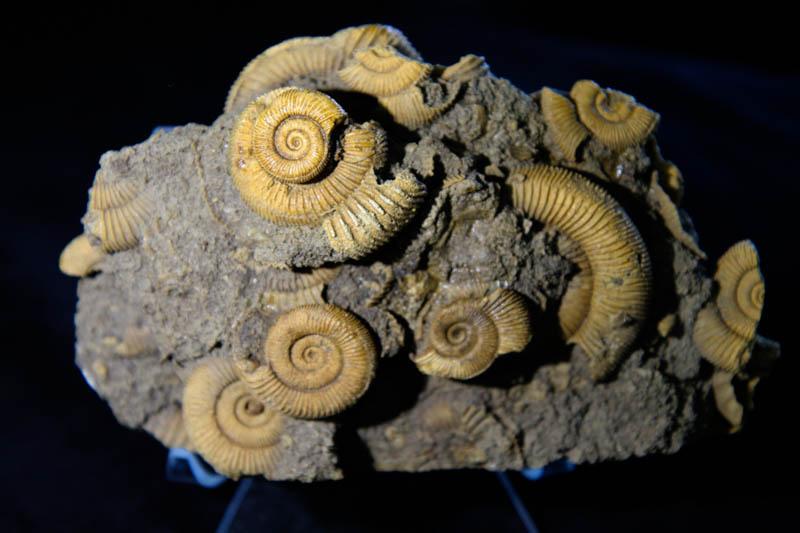 Dactylioceras athleticum Ammonite Cluster-0