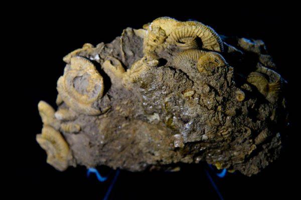 Dactylioceras athleticum Ammonite Cluster-2279