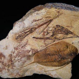 Trilobite Mucronaspis Plaque-0