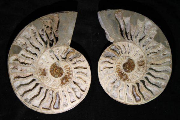 Ammonite Halves White-0