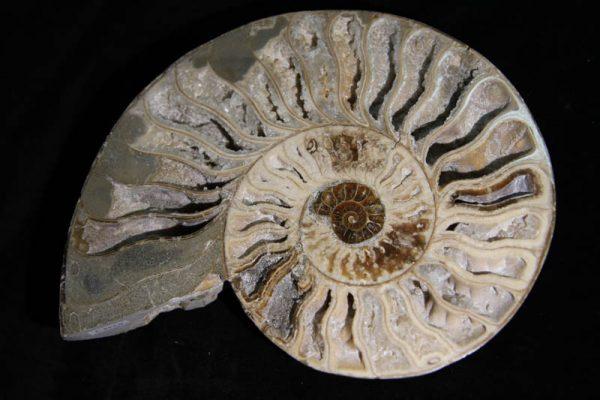 Ammonite Halves White-2345