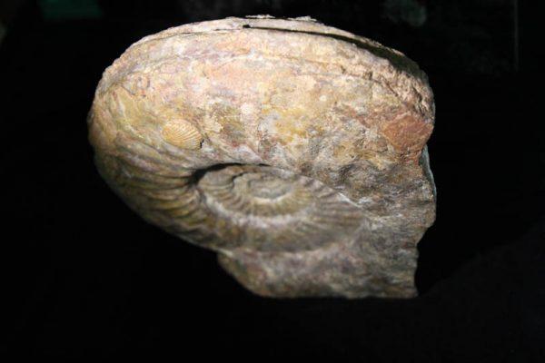 Ammonite Arietites -2351