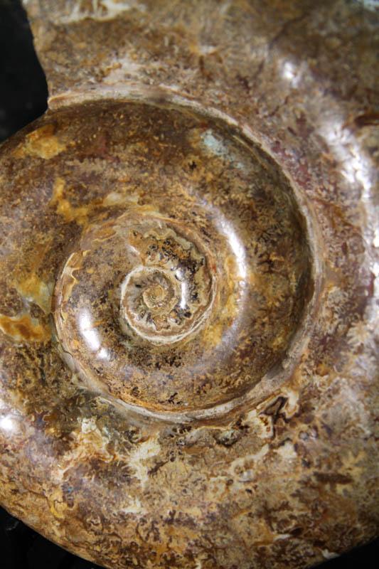 Museum Ammonite -2369
