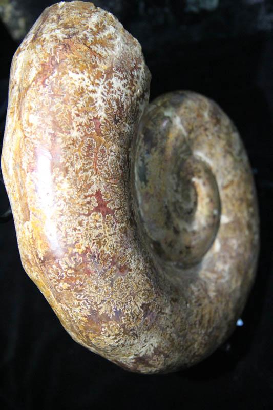Museum Ammonite -2365