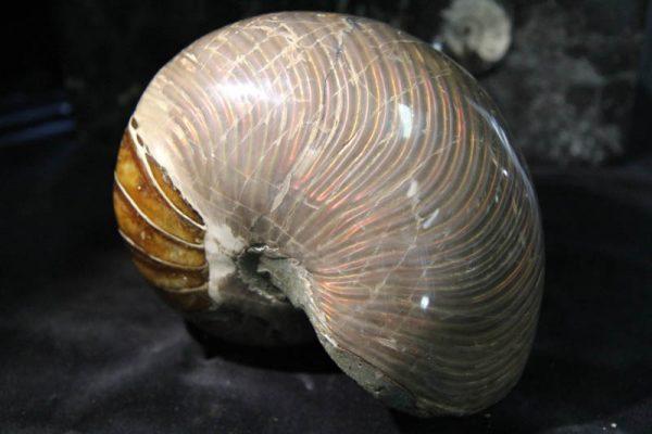 Nautilus Cymatoceras-0