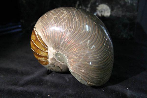 Nautilus Cymatoceras-2384
