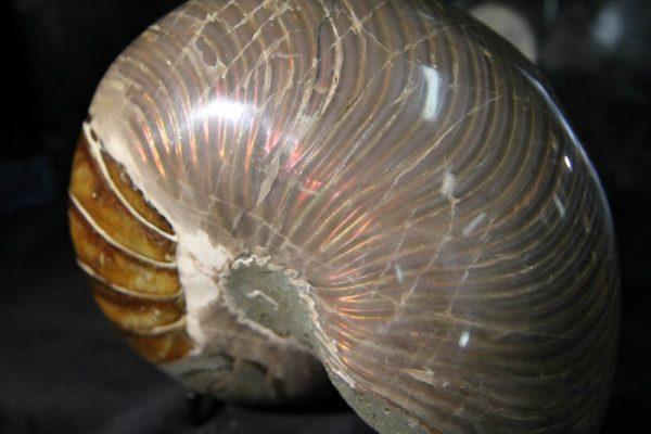 Nautilus Cymatoceras-2389