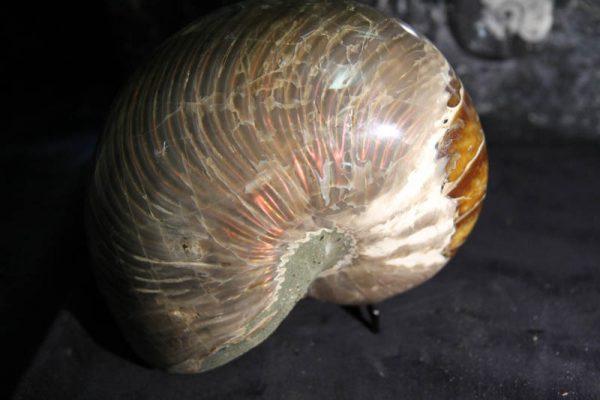 Nautilus Cymatoceras-2382