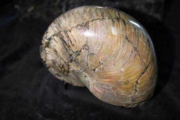 Nautilus Cymatoceras-2395