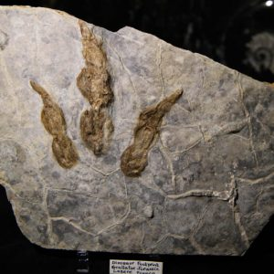 Dinosaur Footprint Grallator-0