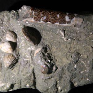 Ammonite cluster-0