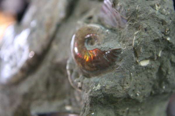 Massive Ammonite cluster-2462