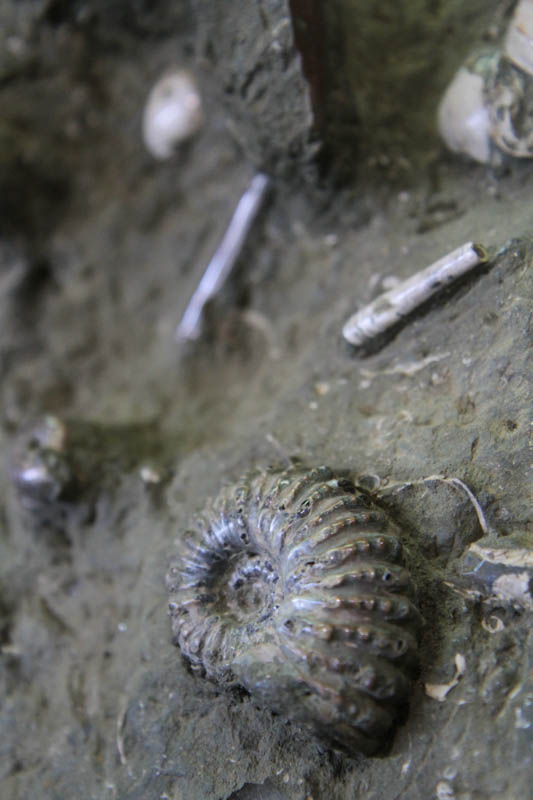Massive Ammonite cluster-2458