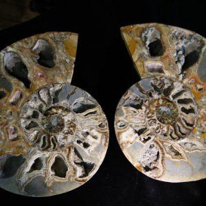 Super Large Ammonite Cleoniceras Halves-0
