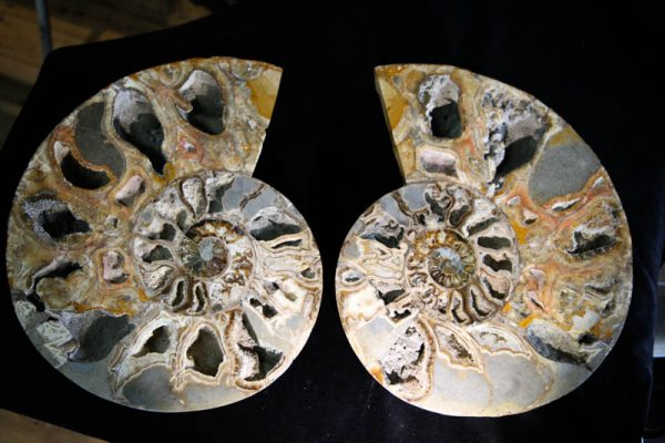 Super Large Ammonite Cleoniceras Halves-2528