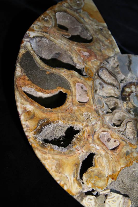 Super Large Ammonite Cleoniceras Halves-2527
