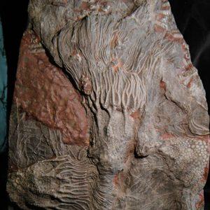 Crinoid Scyphocrinites Camerate-0