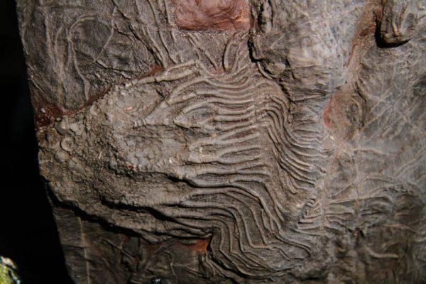 Crinoid Scyphocrinites Camerate-2664