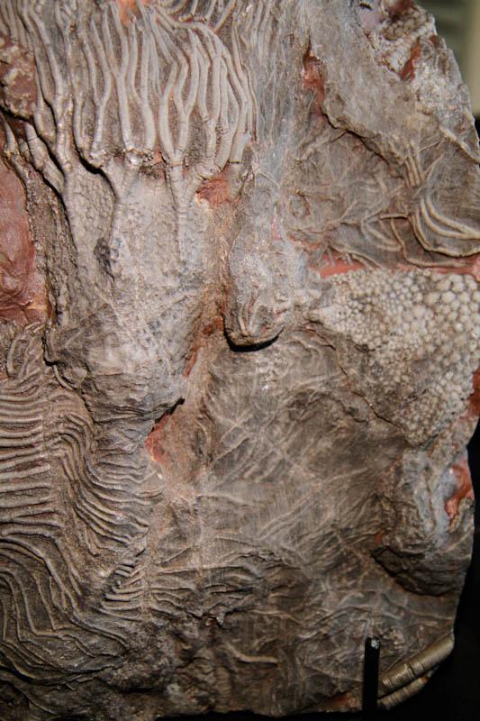 Crinoid Scyphocrinites Camerate-2667