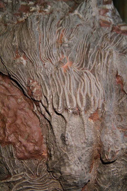 Crinoid Scyphocrinites Camerate-2668