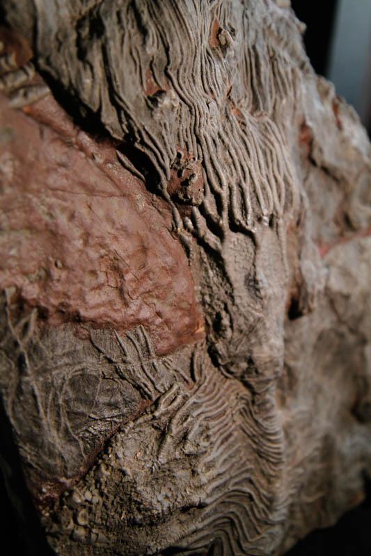 Crinoid Scyphocrinites Camerate-2666