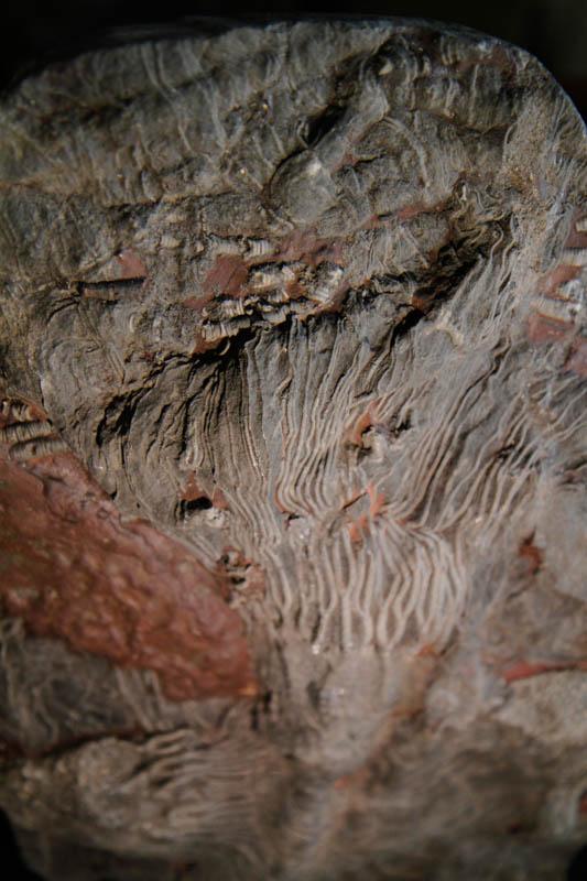 Crinoid Scyphocrinites Camerate-2669