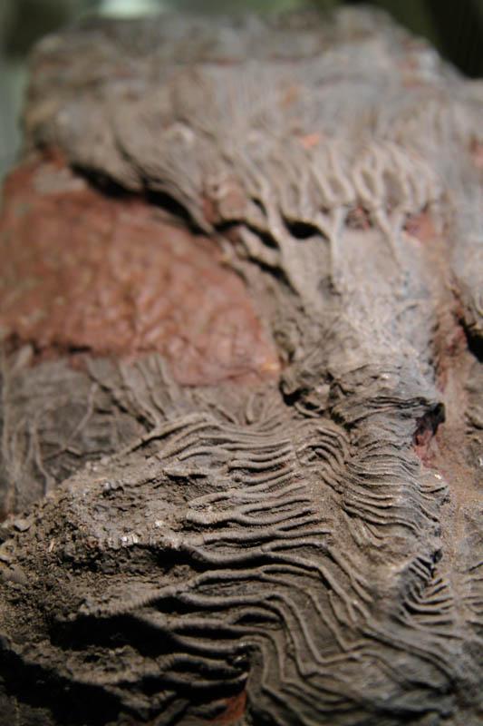 Crinoid Scyphocrinites Camerate-2663