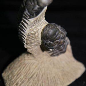 Trilobite Crotalocephalus Africans-0