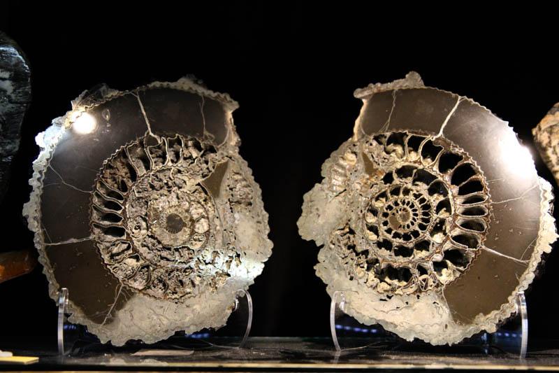 Ammonite Speetoniceras-0
