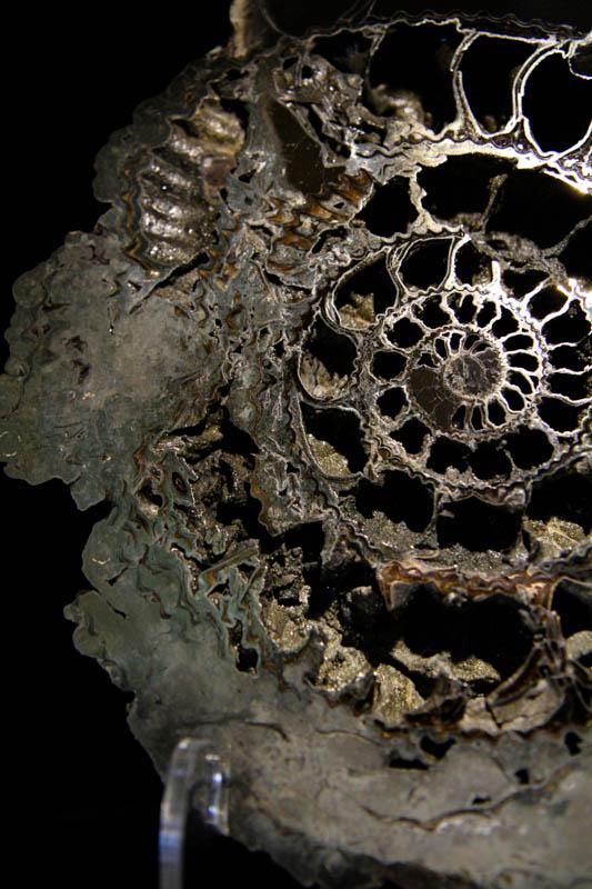 Ammonite Speetoniceras-2642