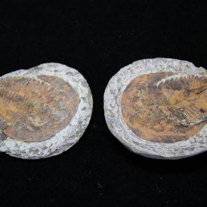 Trilobite andalusiana-0