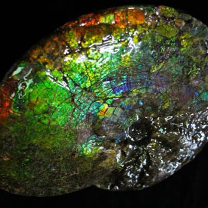 Ammonite Placenticeras Meeki-0
