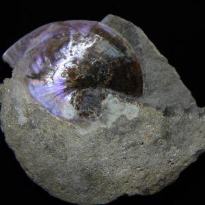 Ammonite Sphenodiscus Lenticularis-0