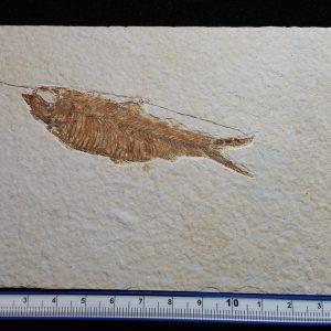 Fish - Knightia Eocaena-0
