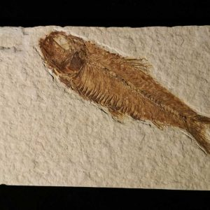 Fish - Knightia Eocena-0